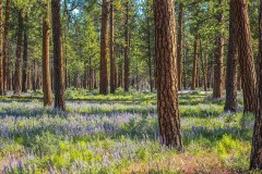 Oregon Landscapes Pano 2887 Ponderosa Pines BSFAimages